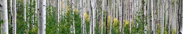 Tree Bark Wall Art - Photograph - Aspen Trees by Steve Gadomski