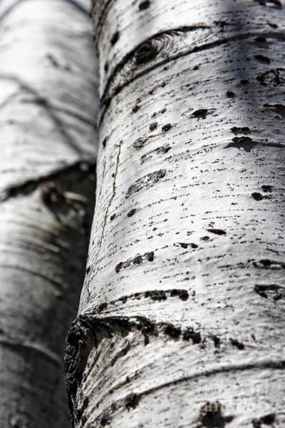 Photograph - Aspen Trunks In Light And Shadow by Lincoln Rogers