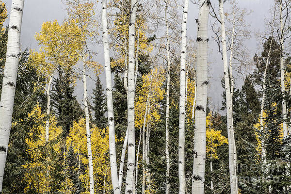 Photograph - Aspen Trunks by Tim Mulina