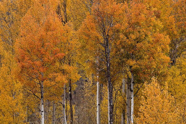 Photograph - Aspens Ablaze by Wes and Dotty Weber