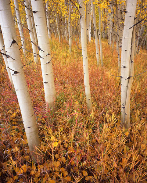 Photograph - Aspens At Telluride by Ray Mathis