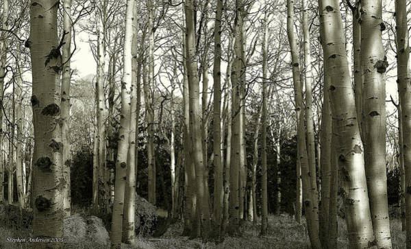 Photograph - Aspens Black And White by Stephen Andersen
