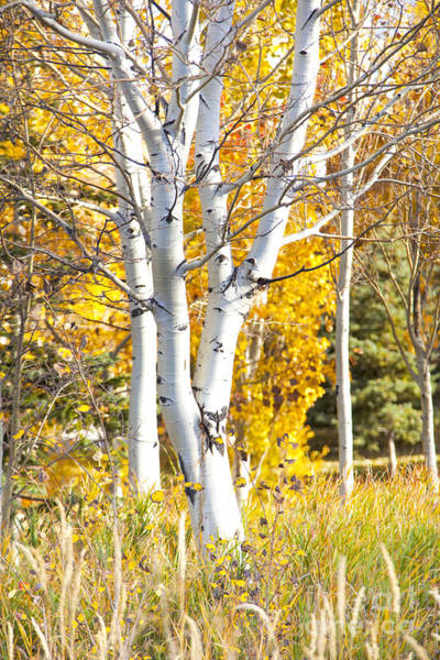 Photograph - Aspens In Fall by David Millenheft