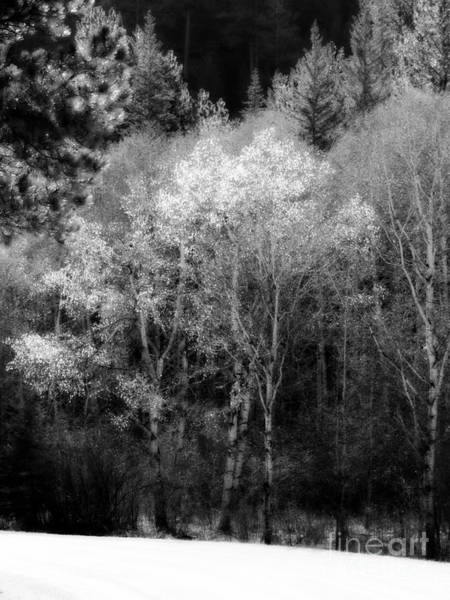 Aspens In Morning Light Bw Art Print