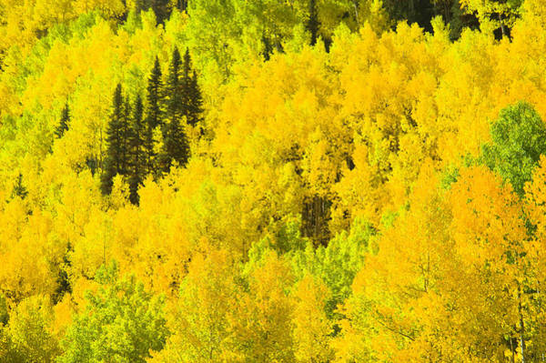 Season Photograph - Aspens In Peak Fall Foliage by Donovan Reese