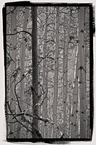 Photograph - Aspens In Platinum by Charles Muhle