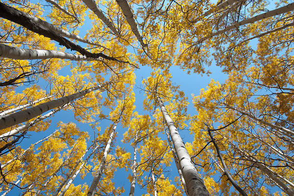 Photograph - Aspens In The Sky by Cascade Colors