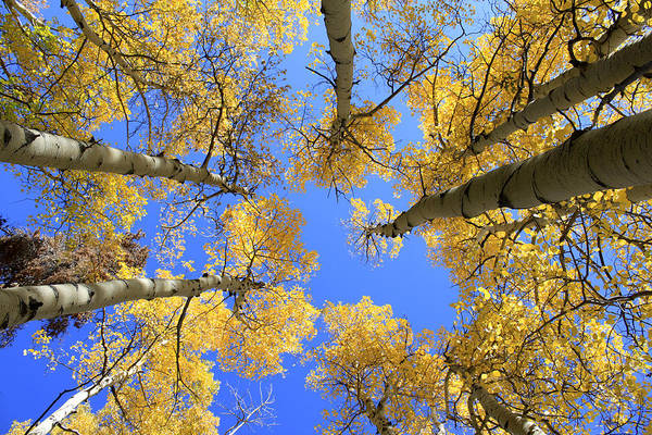 Aspens Skyward Art Print