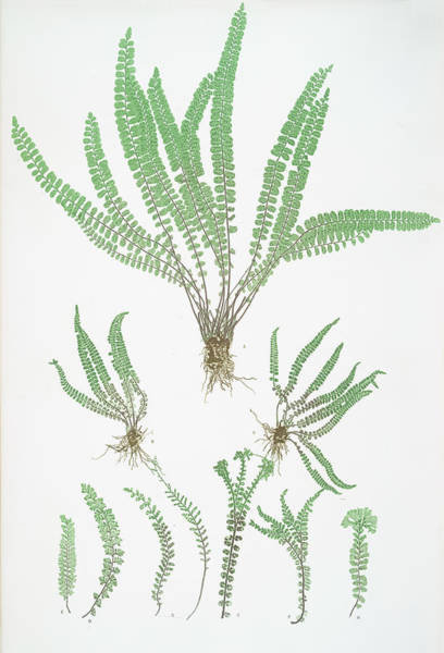 Ferns Drawing - Asplenium Trichomanes by Litz Collection