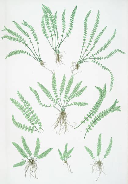 Organic Drawing - Asplenium Viride by Litz Collection