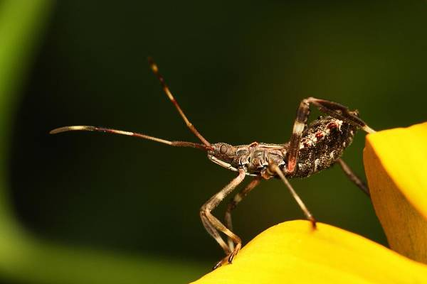 Photograph - Assassin Bug by Mike Farslow