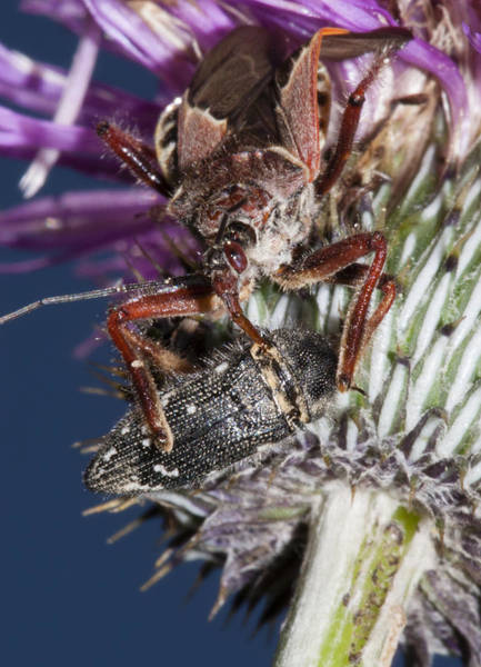 Photograph - Assassin Bug Preying On Beetle by Steven Schwartzman