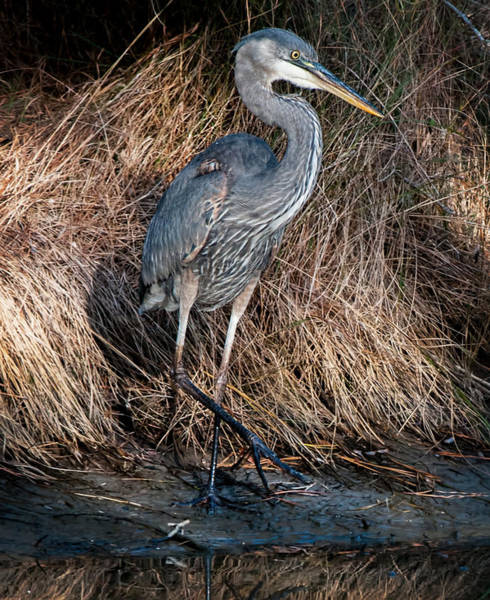 Photograph - Assateague Island Great Blue Heron by Lara Ellis
