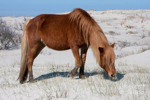 Photograph - Assateague Pony by Chris Scroggins