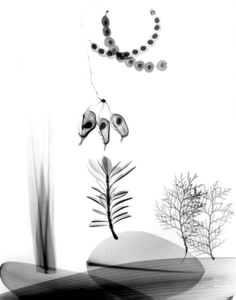 X-ray Photograph - Assorted Plants by Albert Koetsier X-ray
