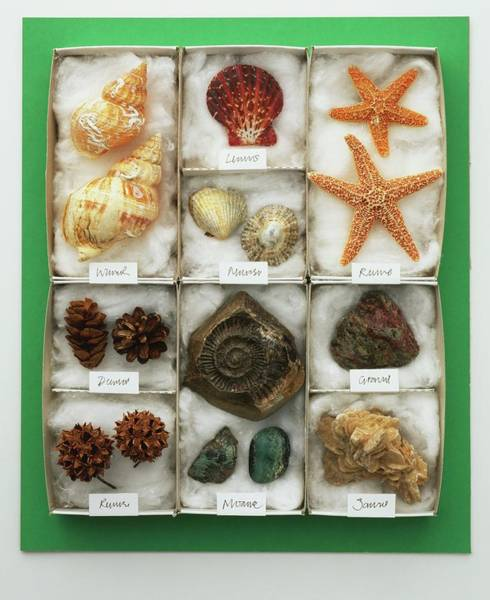 Casing Wall Art - Photograph - Assorted Sea Shells Displayed In A Tray by Dorling Kindersley/uig