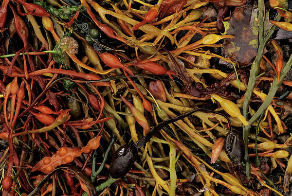 Foreshore Photograph - Assorted Seaweed by Duncan Shaw/science Photo Library