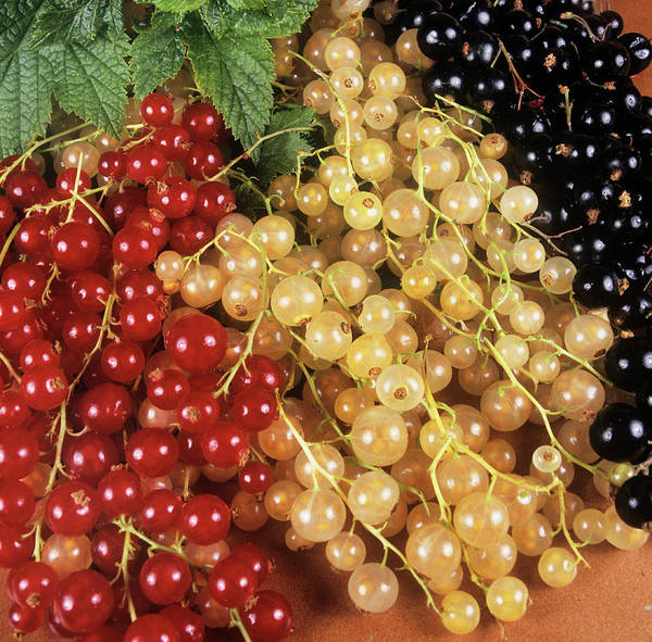 Currants Photograph - Assortment Of Currants by Ray Lacey/science Photo Library