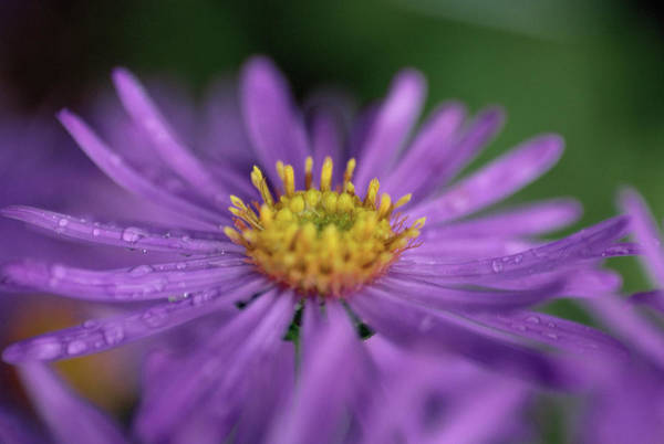 Aster Photograph - Aster 'advance' Flower by Ruth Brown/science Photo Library
