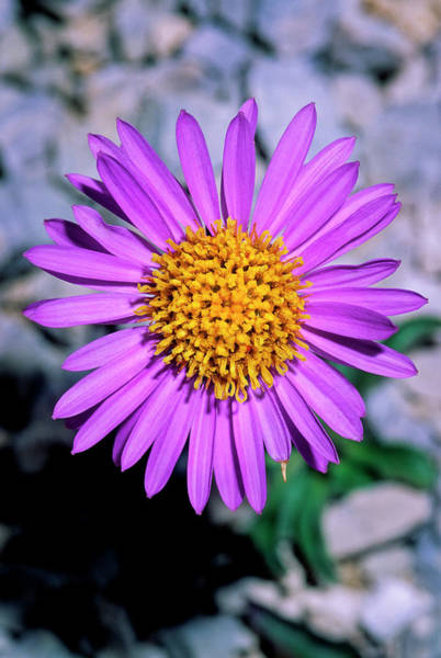 Aster Photograph - Aster Alpinus by Bruno Petriglia/science Photo Library
