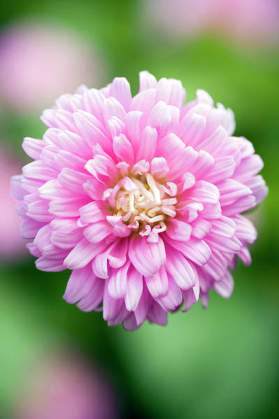Aster Photograph - Aster 'comet Formula Mix' Pink by Geoff Kidd/science Photo Library