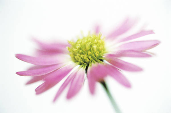 Asteraceae Wall Art - Photograph - Aster Flower by Gustoimages/science Photo Library