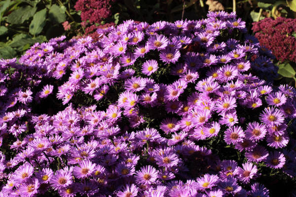 Aster Photograph - Aster Flowers (aster Amellus 'stettin') by Dan Sams/science Photo Library