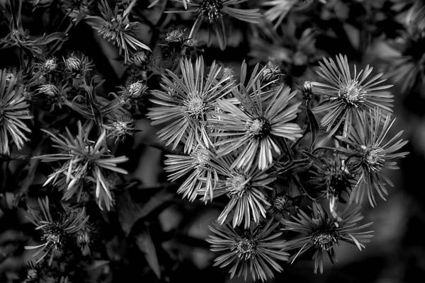 Photograph - Asters In Monochrome by Beth Akerman