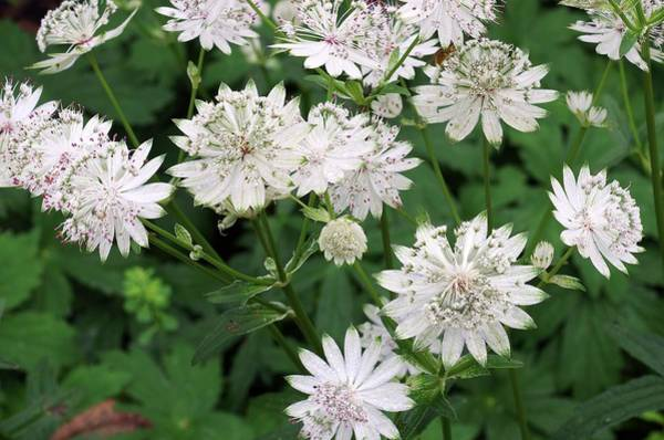 Astrantia Photograph - Astrantia Major Involucrata 'shaggy' by Neil Joy