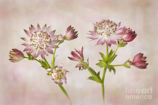 Astrantia Photograph - Astrantia Major 'roma' by Jacky Parker