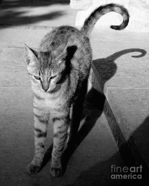 Photograph - Aswan Cat by PJ Boylan