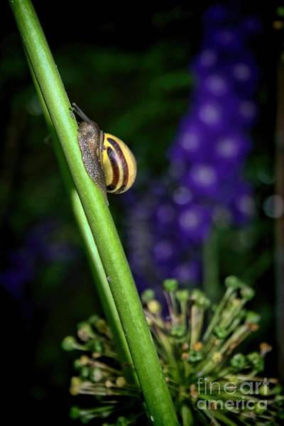 Racing Shell Photograph - At A Snail's Pace by Henry Kowalski