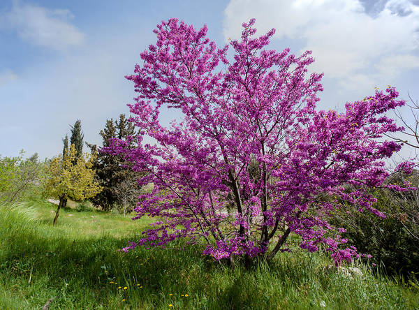 Photograph - At Full Blossom by Uri Baruch