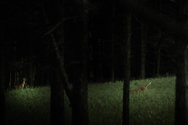 Doe Photograph - At Play In Darkened Woods by Shane Holsclaw
