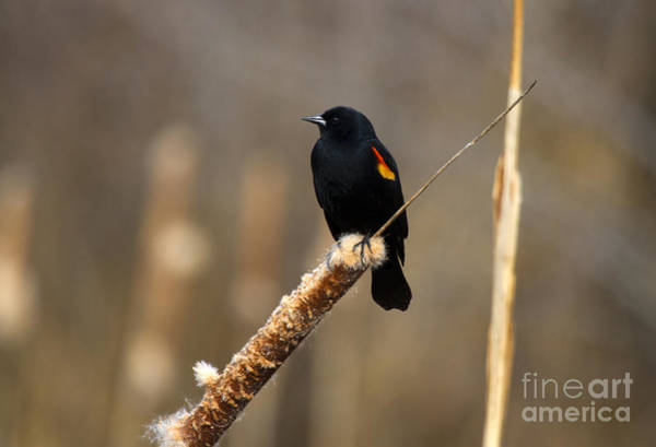 Red-winged Blackbird Wall Art - Photograph - At Rest by Mike  Dawson