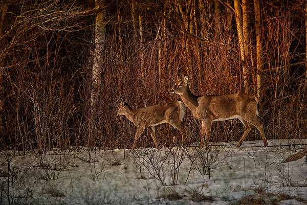 Winter Deer Photograph - At The Edge Of The Woods by Susan Capuano