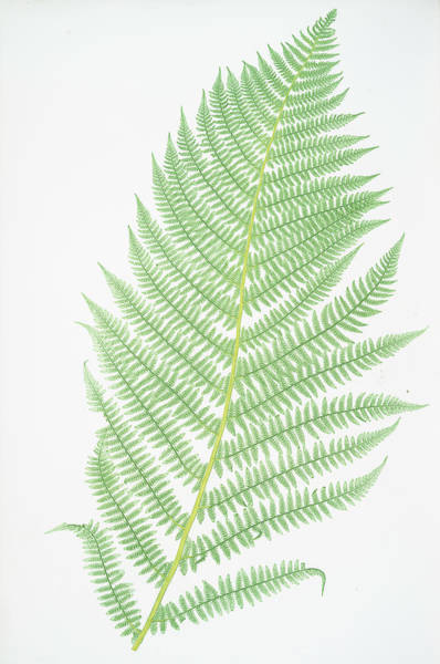 Ferns Drawing - Athyrium Filix-foemina by Litz Collection