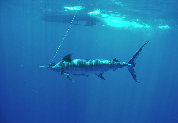 Wall Art - Photograph - Atlantic Blue Marlin by Jim Edds/science Photo Library
