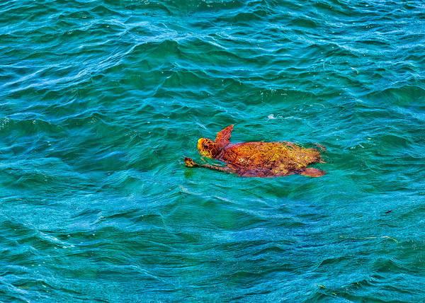 Photograph - Atlantic Green Sea Turtle by John M Bailey