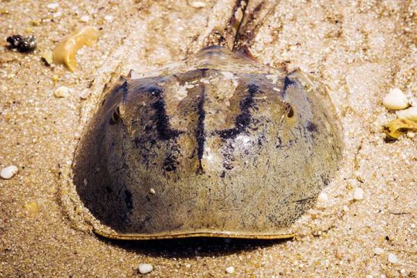 Delaware Photograph - Atlantic Horseshoe Crab by Paul Williams