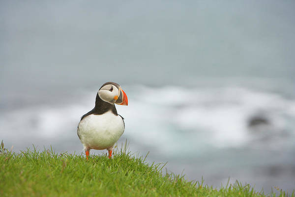 Curiosity Photograph - Atlantic Puffin Fratercula Arctica On A by Thomas Kokta