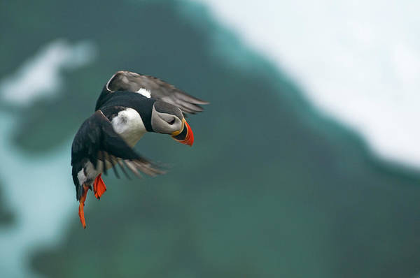 Wall Art - Photograph - Atlantic Puffin, Fratercula Arctica by Steven J. Kazlowski / GHG
