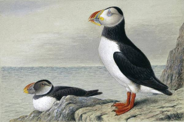 Wall Art - Photograph - Atlantic Puffin by Natural History Museum, London/science Photo Library