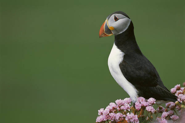 Plumbaginaceae Photograph - Atlantic Puffin On Cliff Shetland by Tui De Roy