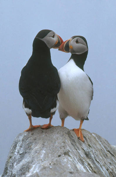 Wall Art - Photograph - Atlantic Puffins by Jeffrey Lepore