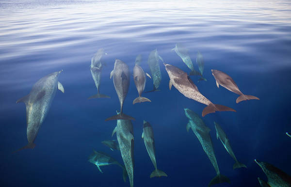 Acores Photograph - Atlantic Spotted Dolphins, Stenella by Reinhard Dirscherl