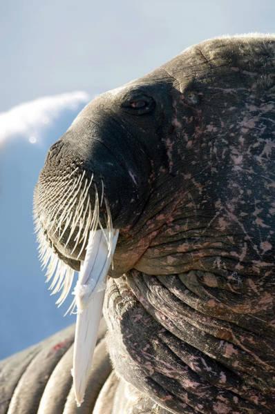 Atlantic Canada Wall Art - Photograph - Atlantic Walrus by Louise Murray/science Photo Library