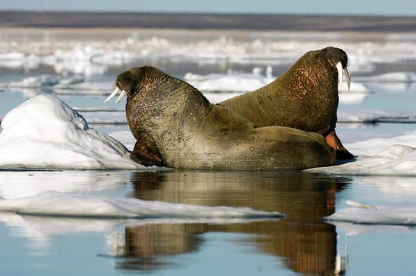 Atlantic Canada Wall Art - Photograph - Atlantic Walruses by Louise Murray/science Photo Library