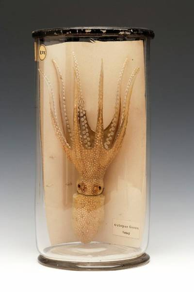 Anatomical Model Photograph - Atlantic Warty Octopus by Ucl, Grant Museum Of Zoology