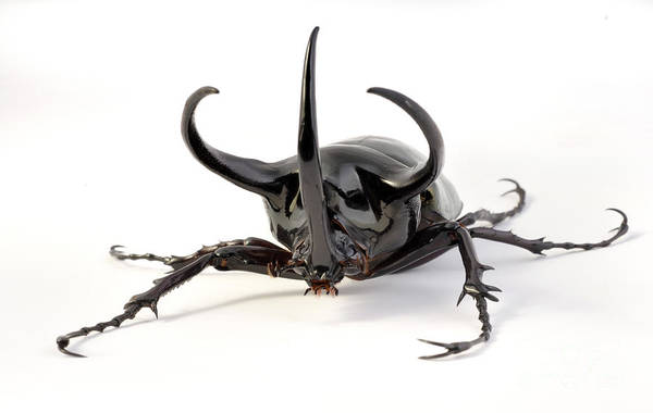 Photograph - Atlas Beetle by Francesco Tomasinelli